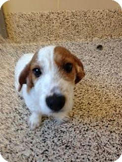 Hagrid | Adopted Dog | Aiken, SC | Jack Russell Terrier ...