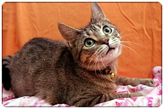 Domestic Shorthair Cat for adoption in Sterling Heights, Michigan - Emily - ADOPTED!