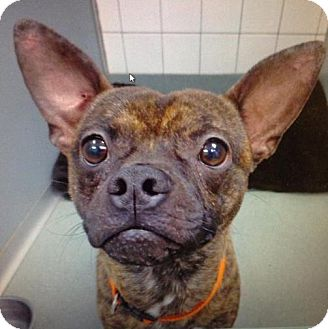 french bulldog adoption ma elvis adopted dog worcester ma french bulldog 770