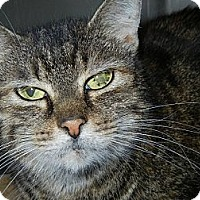 Domestic Shorthair Cat for adoption in Miami, Florida - Darcy