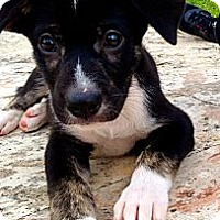 Adopt A Pet :: Chip - Miami, FL