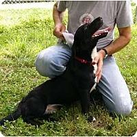 Adopt A Pet :: Sam - Mocksville, NC