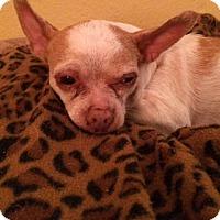 Adopt A Pet :: Adeline (Addie) - Edmond, OK