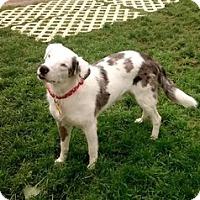 Adopt A Pet :: Petey - Boulder, CO