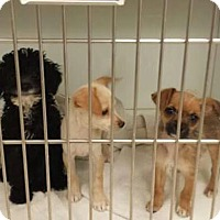 Adopt A Pet :: Brussels mix pups - House Springs, MO