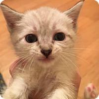 Adopt A Pet :: Loki - Herndon, VA