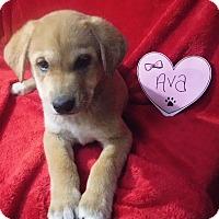 Adopt A Pet :: Ava - Batesville, AR