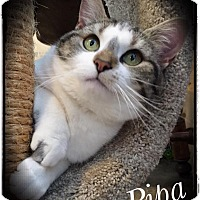 Adopt A Pet :: Pippa - Woodsfield, OH