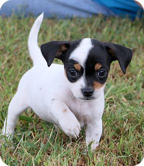 Feist Mix Puppy for adoption in Glastonbury, Connecticut - Cookie~adopted!!