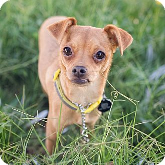 Chihuahua/Italian Greyhound Mix Puppy for adoption in Oakley, California - Princess