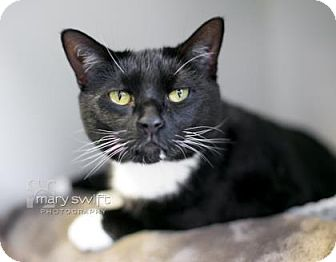 Domestic Shorthair Cat for adoption in Reisterstown, Maryland - Piper
