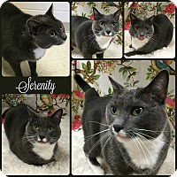 Domestic Shorthair Cat for adoption in Joliet, Illinois - Serenity