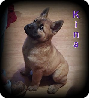 Chow Chow/German Shepherd Dog Mix Puppy for adoption in Denver, North Carolina - Kina