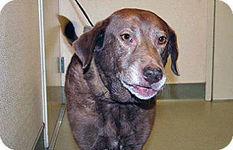 Labrador Retriever Mix Dog for adoption in Wildomar, California - Hershy