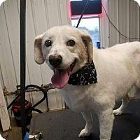 Adopt A Pet :: Amber - cicero, NY
