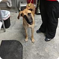 Adopt A Pet :: Athena - Paducah, KY