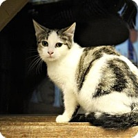 Domestic Shorthair Cat for adoption in West Des Moines, Iowa - Cherry