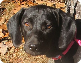 Labrador Retriever/Beagle Mix Puppy for adoption in Harrisonburg, Virginia - Amie