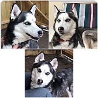 Adopt A Pet :: Sheena - Boyertown, PA