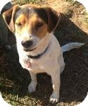 Beagle Mix Dog for adoption in East Hartford, Connecticut - Spot in Ct