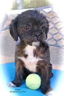 Brussels Griffon/Affenpinscher Mix Puppy for adoption in Encino, California - Jordon