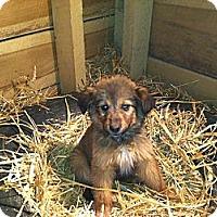 Adopt A Pet :: Shelby - Alamosa, CO