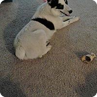 Adopt A Pet :: Bandit Dakota - Chewelah, WA