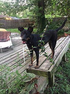 German Shepherd Dog/Doberman Pinscher Mix Dog for adoption in Baton Rouge, Louisiana - Nellie