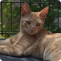Adopt A Pet :: Mango - Brooklyn, NY