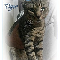 Adopt A Pet :: Tiger - Orange City, FL