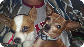 Chihuahua Dog for adoption in Decatur, Alabama - BOOGER AND MOLLY