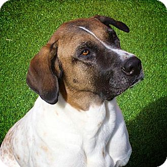 Great Dane/Hound (Unknown Type) Mix Dog for adoption in Miami, Florida - Lenny