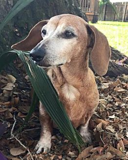Dachshund Dog for adoption in Weston, Florida - Zuri