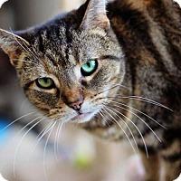 Adopt A Pet :: Brownie - Markham, ON