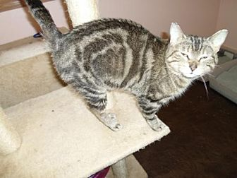 Domestic Shorthair Cat for adoption in Montello, Wisconsin - Brooke