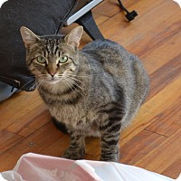 Domestic Shorthair Cat for adoption in Montreal, Quebec - Tristan