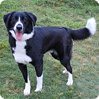 Border Collie Mix Dog for adoption in Austin, Texas - Major