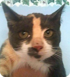 Calico Kitten for adoption in Savannah, Georgia - Sporty