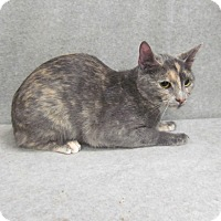 Domestic Shorthair Cat for adoption in Waldorf, Maryland - Chloe