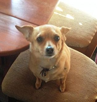 Chihuahua Mix Dog for adoption in Evergreen, Colorado - Sunny - courtesy listing