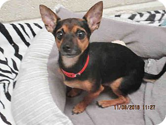Chihuahua Dog for adoption in Litchfield Park, Arizona - ON EUTHANASIA LIST - Only $25