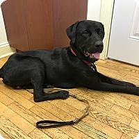 Adopt A Pet :: Bo - Laingsburg, MI