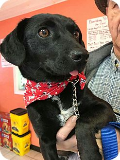 Labrador Retriever Mix Dog for adoption in Manchester, Connecticut - Baby in CT