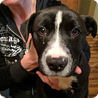 Adopt A Pet :: Peppa - Covington, TN