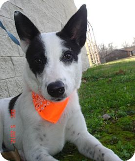 Australian Cattle Dog/Australian Shepherd Mix Dog for adoption in Stilwell, Oklahoma - Herbie