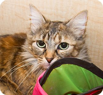 Domestic Mediumhair Cat for adoption in Irvine, California - Bailey