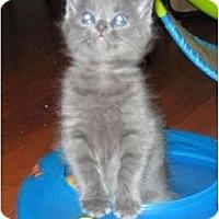 Adopt A Pet :: Athos - Reston, VA