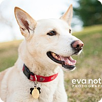 Golden Retriever/Husky Mix Dog for adoption in Minnetonka, Minnesota - Tundra