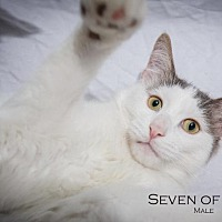 Domestic Shorthair Cat for adoption in St. Louis, Missouri - Seven of Nine (Courtesy Post)