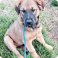 Adopt A Pet :: Samson - Salem, NH